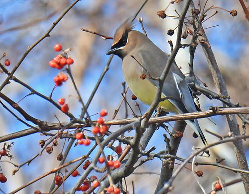 Cedar Waxwing - Whiting Road Nature Preserve - © Dick Horsey - Mar 05, 2020