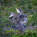 Two four-week-old Great blue heron chicks in nest at Venice Rookery, Venice, Florida