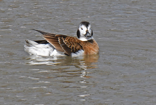 Long-tailed Duck - Irondequoit Bay Outlet - © Dick Horsey - Mar 01, 2020