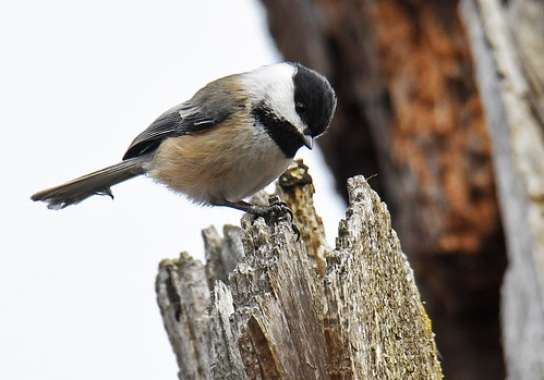 Black-capped Chickadee - Whiting Road Nature Preserve - © Dick Horsey - Mar 05, 2020