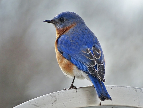 Eastern Bluebird - Wheatland - © Janis George - Mar 11, 2020