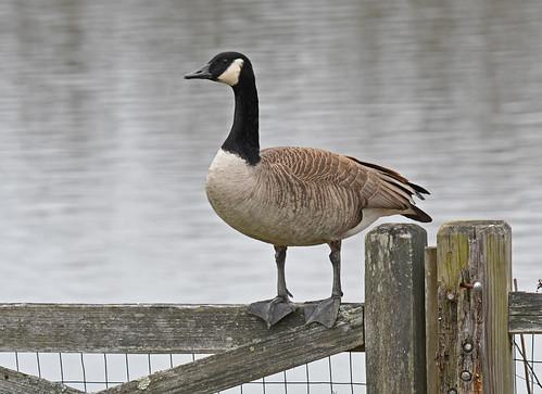 Canada Goose - Kings Bend Park - © Dick Horsey - Mar 12, 2020