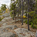 Trees fighting for a foothold in the basalt rocks, Yellowknife, Great Slave Lake, NWT