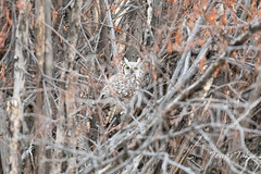 March 14, 2020 - A great horned owl hiding out. (Tony's Takes)