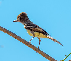 Costa Rica 28.02.20 Nuttings Flycatcher-
