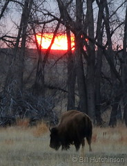 March 14, 2020 - Sunrise behind a bison.  (Bill Hutchinson)