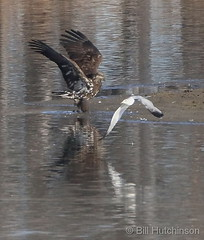 March 10, 2020 - A gull hassles a young eagle.  (Bill Hutchinson)