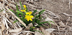 March 11, 2020 - Dafodils popping up. (David Canfield)