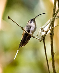 Costa Rica 29.02.20 Hummingbird