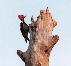 Costa Rica 28.02.20 Linneated Woodpecker