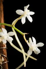 [Malawi] Aerangis mystacidii (Rchb.f.) Schltr., Orchis 11: 17 (1917)