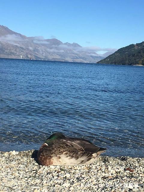 卡蒂普湖Lake Wakatipu 的野鴨