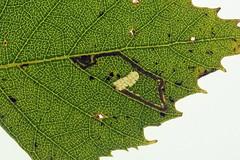 Photo of 4.044 Stigmella continuella, Portmoak Moss, Fife