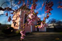 Blütenpracht, Kirche St. Clemens in Dogern
