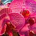 Orchid, Thomson nursery, Singapore