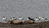 9Q6A6092 (2) Avocet and Oyster Catcher