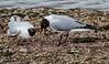 9Q6A6061 (2) - Black-headed Gulls