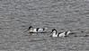 9Q6A6014 (2) - Avocets