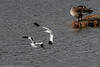 9Q6A5975 (2) - Avocets