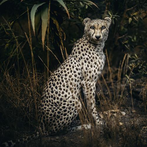 Cheetah Diorama, American Museum of Natural History, NY