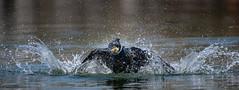 Splashing Cormorant