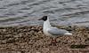 9Q6A6066 (2) - Black-headed Gull