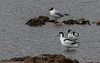 9Q6A6034 (2) - Avocets and Black-headed Gull