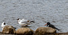 9Q6A5936 (2) - Oyster Catcher and Blacked-head Gulls