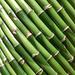 Lucky Bamboo, Thomson nursery, Singapore