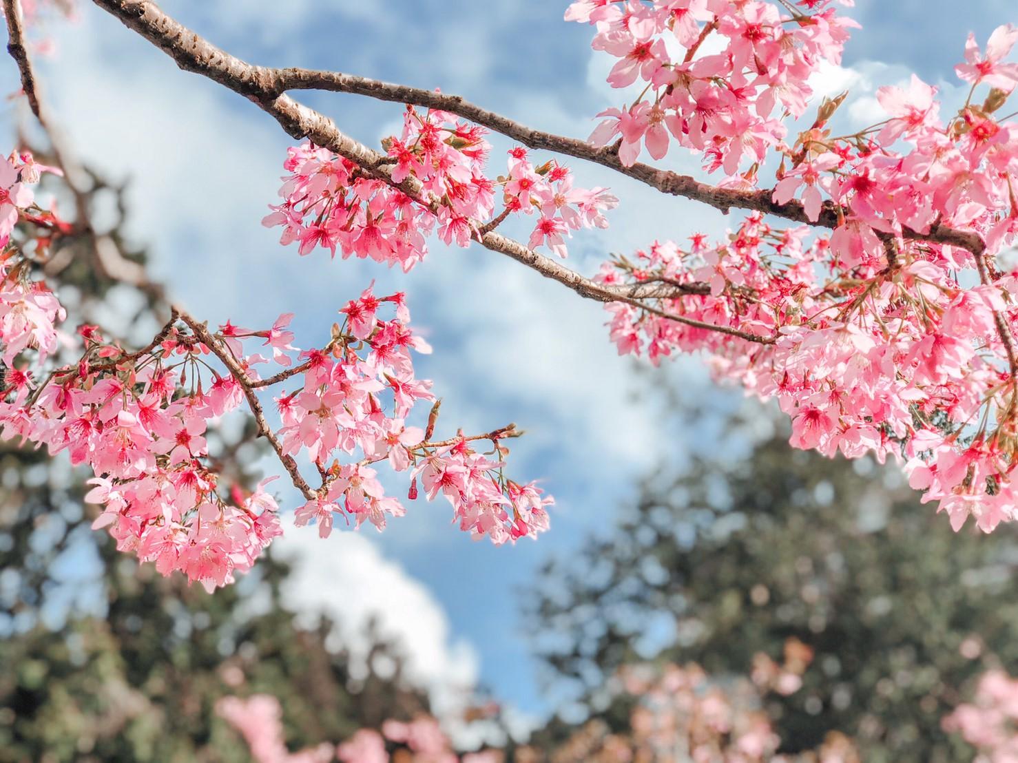 阿里山櫻花季2020。阿里山六大賞櫻景點