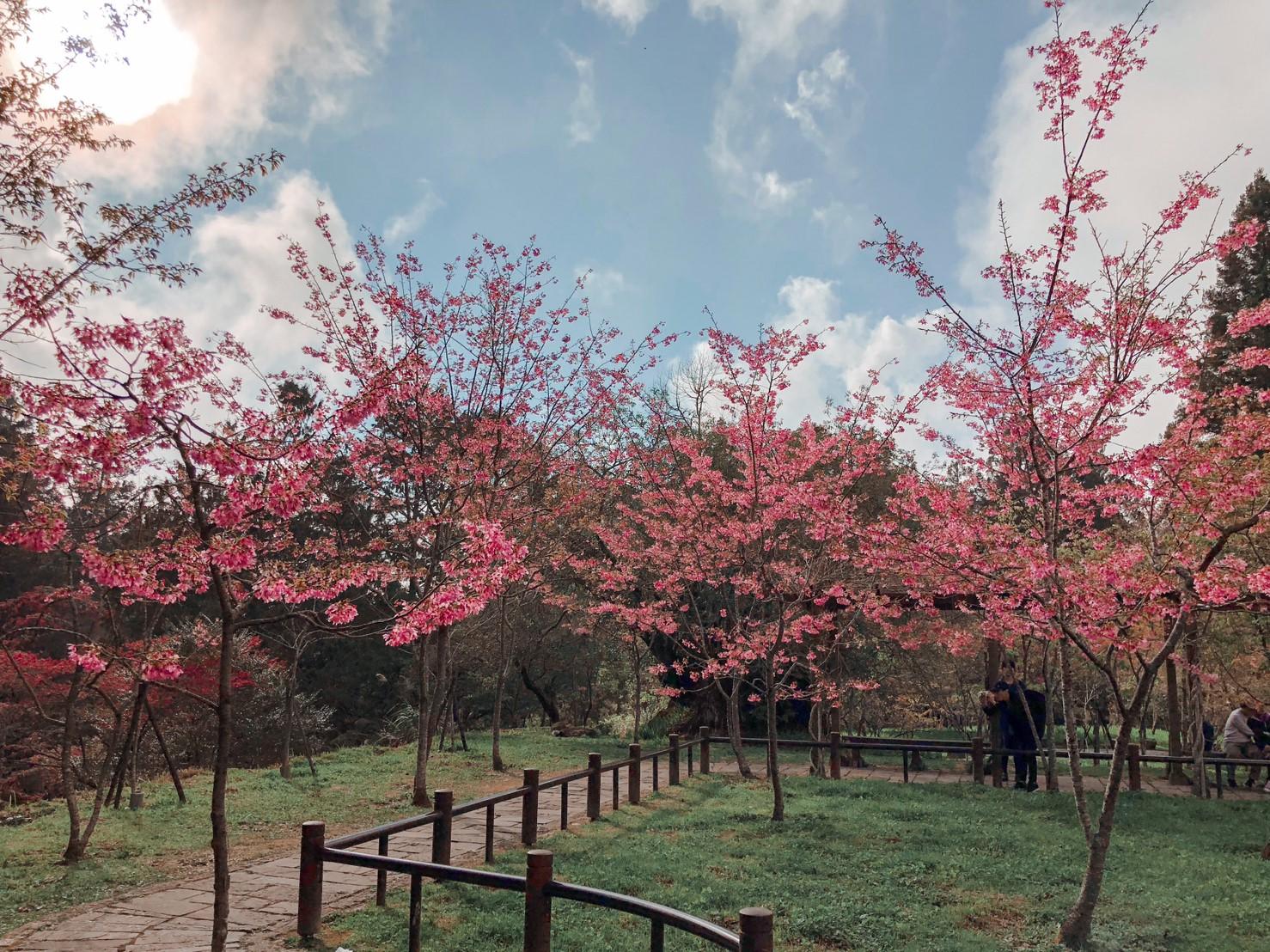 阿里山櫻花季2020。賞櫻時間