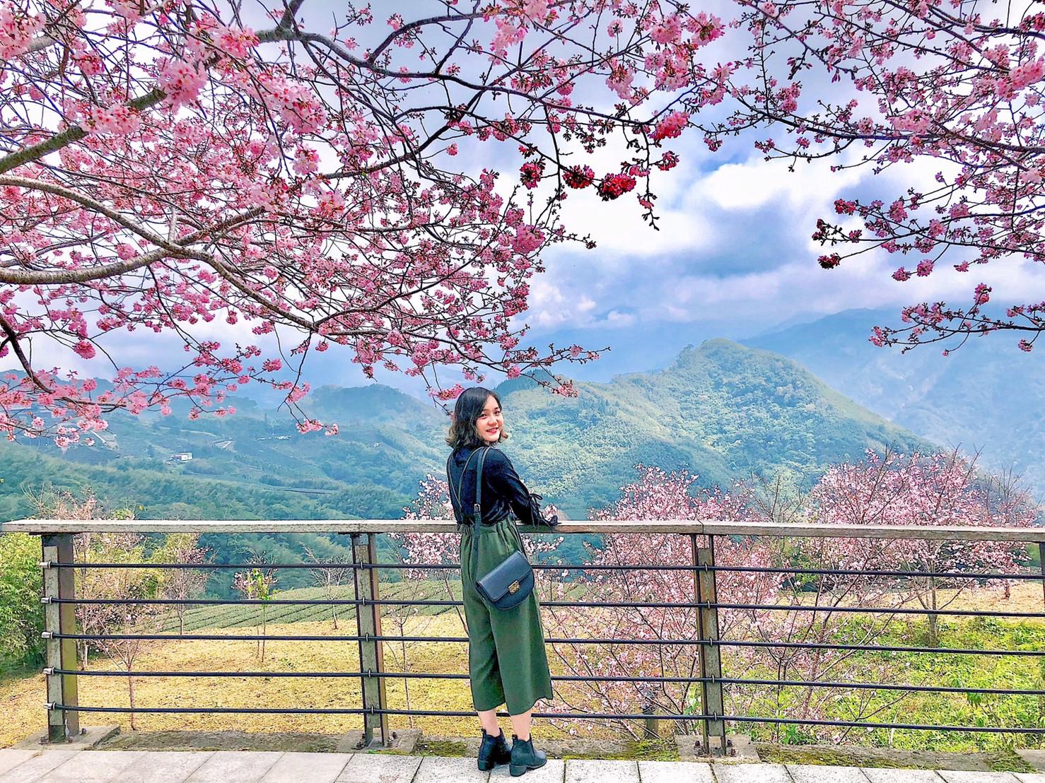 阿里山櫻花季2020。六大賞櫻景點