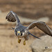 A Peregrine Falcon in Flight and off for hunt
