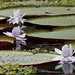 Amazon Water Lily_Victoria amazonica_Ascanio_Amazon Cruise_ DZ3A8234