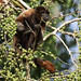 Woolly monkey_Lagothrix sp._Amazon Cruise_Ascanio_DZ3A7645