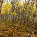 The colours of fall in the forest of trees, Yellowknife, Great Slave Lake, NWT