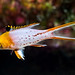 Lyretail Hogfish, juvenile - Bodianus anthioides