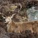 Red Deer Stag · Loch Muich