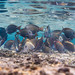 Brown surgeonfish school grazing - Acanthurus nigrofuscus