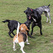 Beagles at play - 15