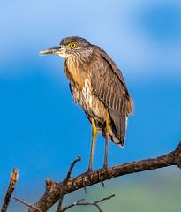 Costa Rica 02.03.20 Yellow-crowned night Heron