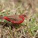Red Avadavat / Strawberry Finch