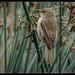 Australian Reed-warbler:Early Morning Patrol