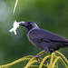House Crow (Corvus splendens) - Bayview Beach Resort, Batu Ferringhi, Penang Island, Malaysia - Feb 2020