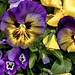 Sonnenberg Gardens & Mansion Historic Park ~ Canandaigua NY ~  Painted  Pansies