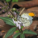 Falcate orangetip male  (Anthocharis midea) on Slender toothwort