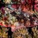 Yellowspotted Scorpionfish - Sebastapistes cyanostigma