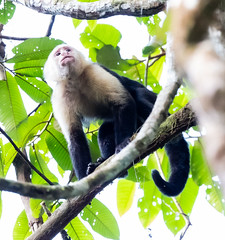 Costa Rica 03.03.20 White-faced Capuchin-1