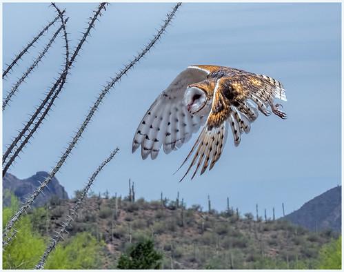 Barn Owl Overhead by Marcia Nye