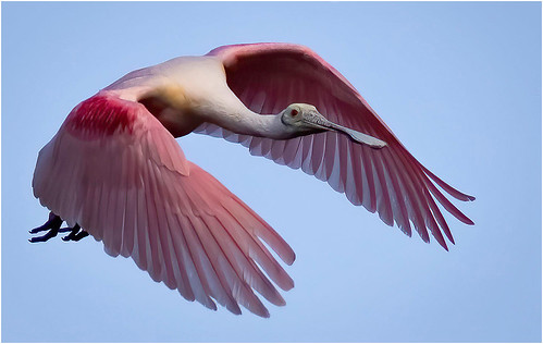Roseate Spoonbill Flying by Barbara Dunn